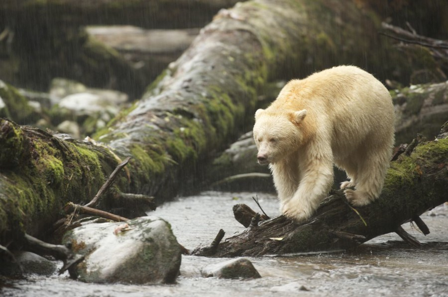 Great Bear Rainforest  Photo:  Ian McAllister